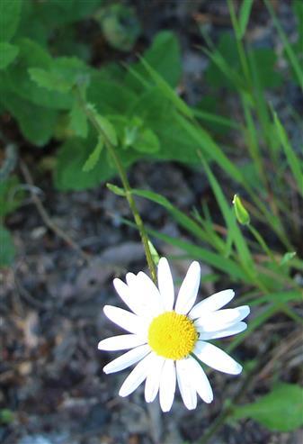 (Magerwiesen-)Margerite(Leucanthemum vulgare(Lam.))