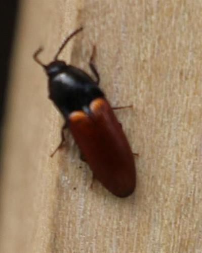 Schnellkäfer(Ampedus cinnabarinus(Eschscholtz 1829))