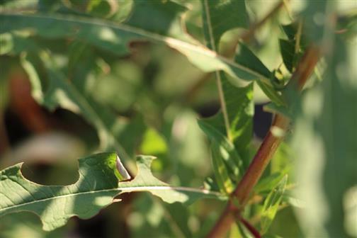 abgeschnittene Blattrollen vom schmalblättrigen Weidenröschen(Epilobium angustifolium(L.))