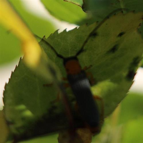 Geißblatt- oder Heckenkirschen-Linienbock(Oberea pupillata(Gyllenhal 1817))