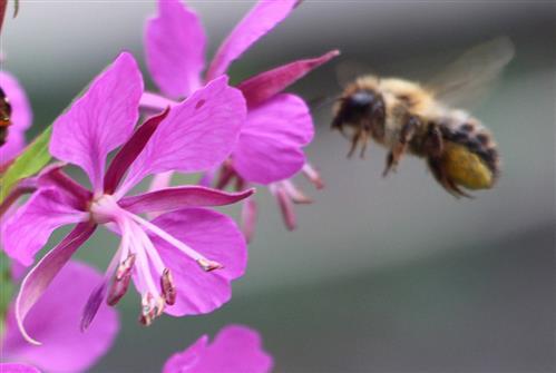 Blattschneiderbiene(Megachile willughbiella(Kirby 1802)) 1