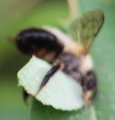 Blattschneiderbiene Megachile beim Anfertigen einer Blattrolle aus dem Blatt eines schmalblättrigen Weidenröschens(Epilobium angustifolium(L.))