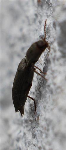 Rotbauchiger Laubschnellkäfer(Athous haemorrhoidalis(Fabricius 1801)) 1