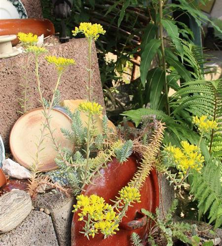 Felsen-Fetthenne(Sedum rupestre(L.))