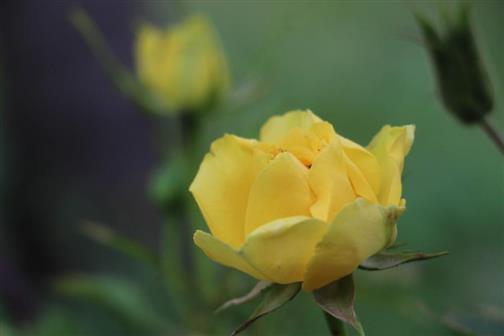 Rose(gelb) 1