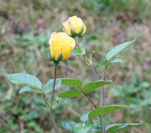 Gelbe Rosen(-knospen)(Rosa(L.))