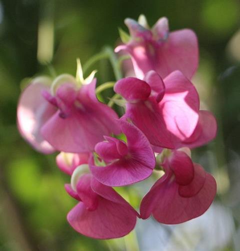 Blüten der Breitblättrigen Platterbse(Lathyrus latifolius(L.))