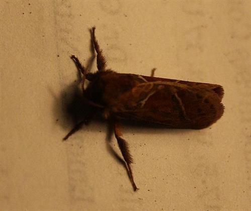 Ampfer-Wurzelbohrer(Hepialus sylvina) weiblich