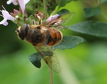 Mistbiene(Eristalis tenax(L. 1758))(Männchen)