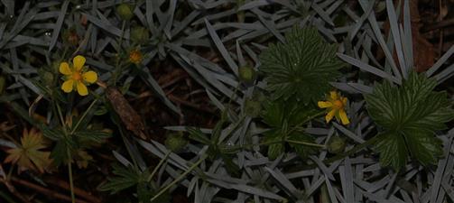 Frühlings-Fingerkraut(Potentilla neumanniana(Rchb.))