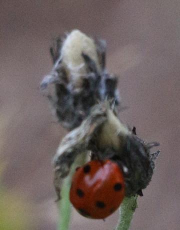 Siebenpunkt-Marienkäfer(Coccinella septempunctata(L. 1758)) am verblühten Waldhabichtskraut(Hieracium murorum(L.))