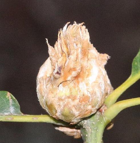 Galle der parthenogenetischen Generation der Gallwespe(Andriscus foecundatrix)