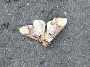 Mondvogel(Phalera bucephala(L. 1758))