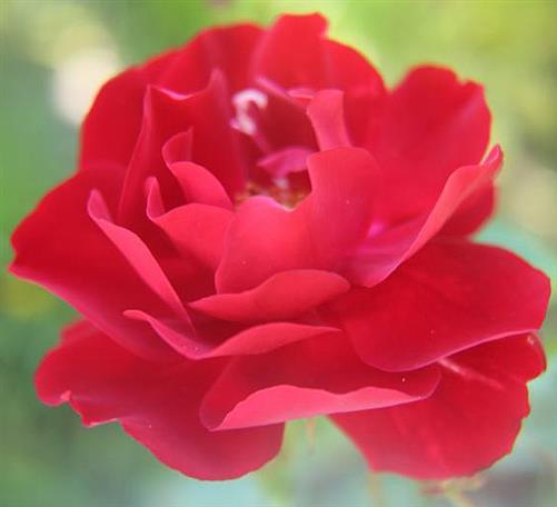 Blüte einer Gartenrose(rot)