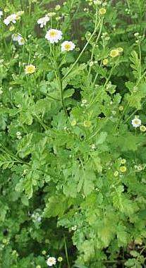 Mutterkraut(Tanacetum parthenium(L. )Bernh.)