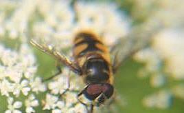 Totenkopfschwebfliege(Myathropa florea(L. 1758))