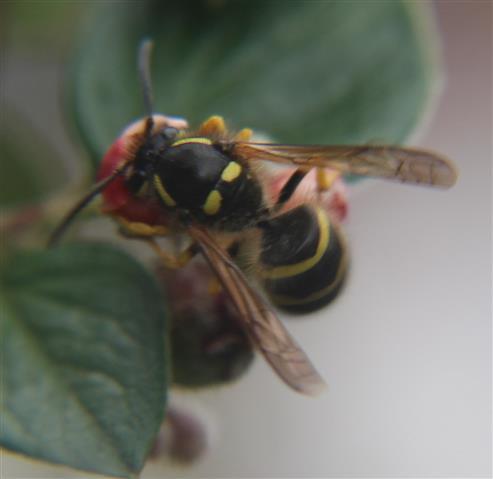 Gemeine Wespe(Vespula vulgaris(L. 1758)) an Zwergmispel(Cotoneaster integerrimus(Medik.))