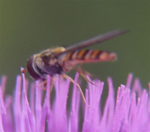 Hainschwebfliege(Episyrphus balteatus(L. 1758)) auf Gewöhnlicher Kratzdistel(Cirsium vulgare(Savi)Ten.)