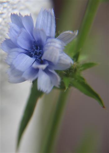 Gemeine oder Gewöhnliche Wegwarte(Cichorium intybus(L.))