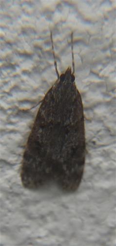 Zünsler(Eudonia truncicolella)