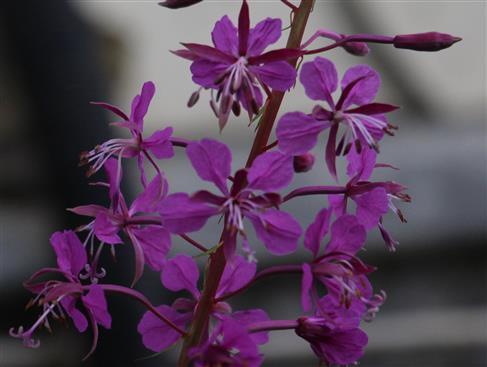 Blüten des Schmalblättrgen Weidenröschens(Epilobium angustifolium(L.))