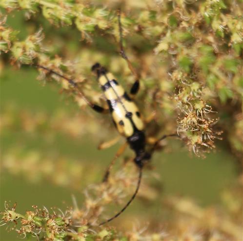 Gefleckter Schmalbock(Rutpela maculata(Poda 1761))