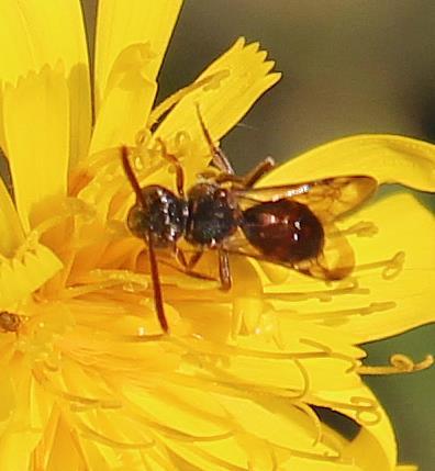 Wespenbiene(Nomada conjungens) beim Blütenbesuch