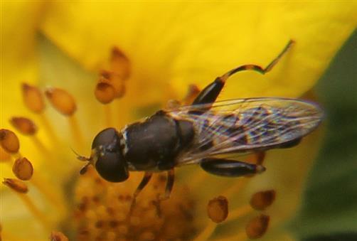 Gemeine Keulenschwebfliege(Syritta pipiens)