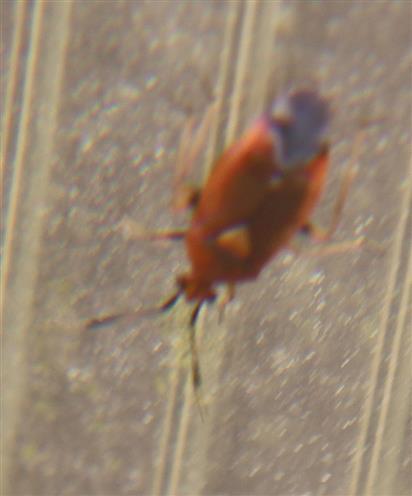 Rote (Halsring-) Weichwanze(Deraeocoris ruber(L. 1758))