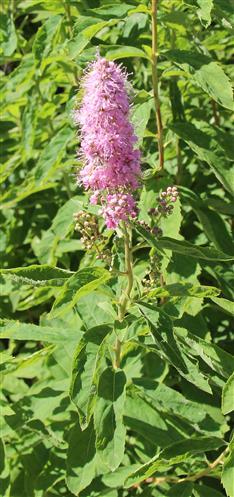 Spierstrauch(Spiraea(L.) salicifolia)