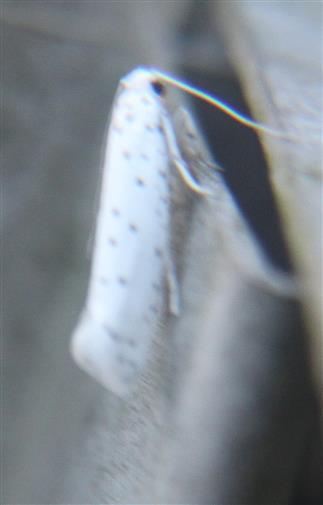 Apfel-Gespinstmotte(Yponomeuta malinellus(Zeller 1838))