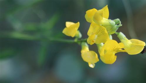 Wiesen-Platterbse(Lathyrus pratensis(L.))