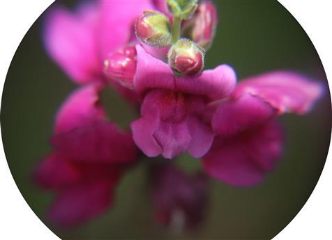 Blüte des Purpurblütigen Leinkrautes(Linaria purpurea(L.))