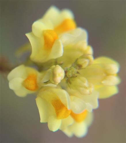 Blüten des Echten Leinkrautes(Linaria vulgaris(Mill.))