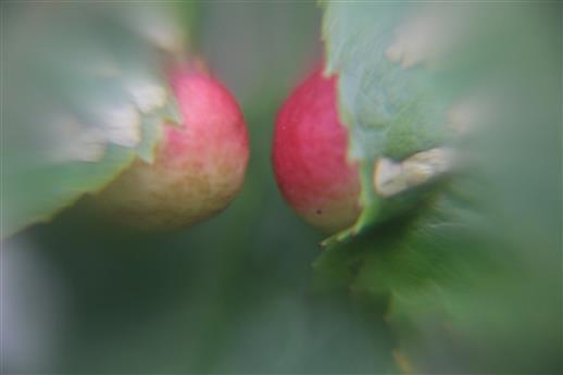 Zwei Gallen der Gallwespe(Diplolepis mayri)