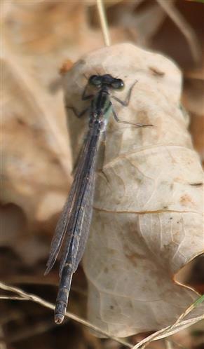 Gemeine Becherjungfer(Enallagma cyathigerum)