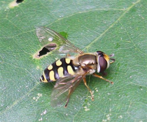 Gemeine Feldschwebfliege(Eupeodes corollae)