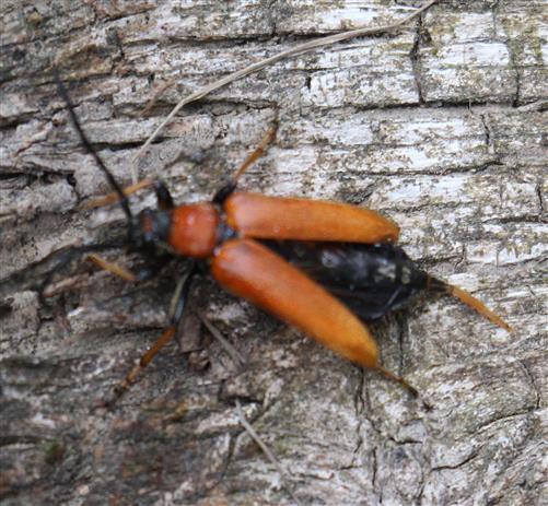 Gemeiner oder Rothalsbock(Stictoleptura rubra(L. 1758)) weiblich beim
