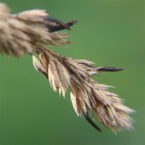 Mutterkorn(Claviceps purpurea) an Grasähre