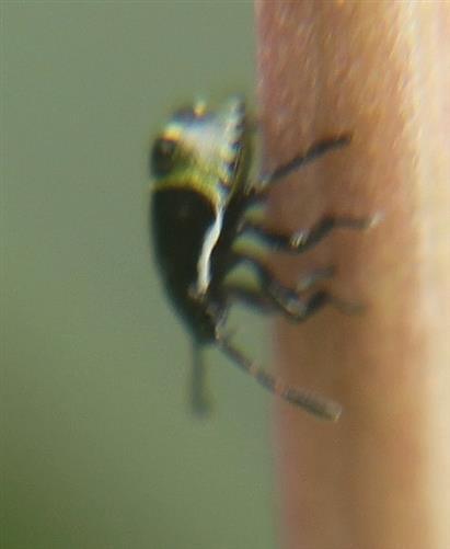 Nymphe der Grünen Stinkwanze(Palomena prasina(L. 1758))