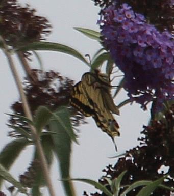 Schwalbenschwanz(Papilio machaon(L. 1758))