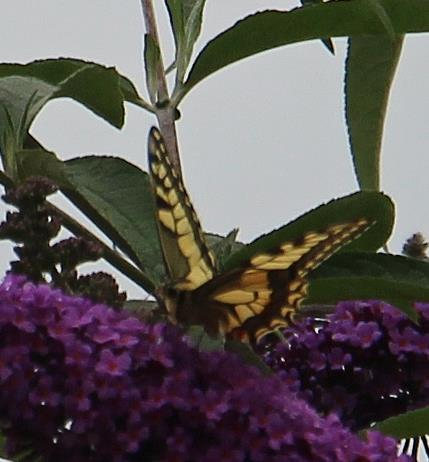 Schwalbenschwanz(Papilio machaon(L. 1758)) 2