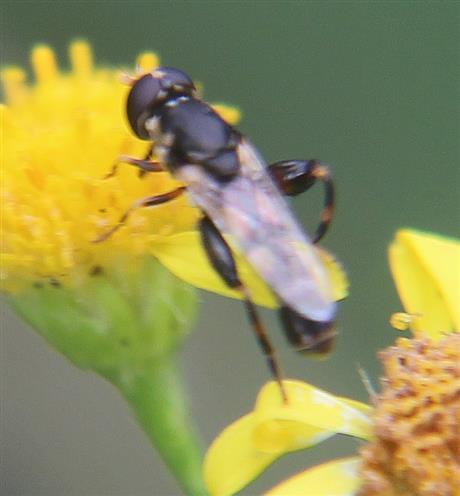 Weibliche Gemeine Langbauchschwebfliege(Xylota segnis) beim Blütenbesuch