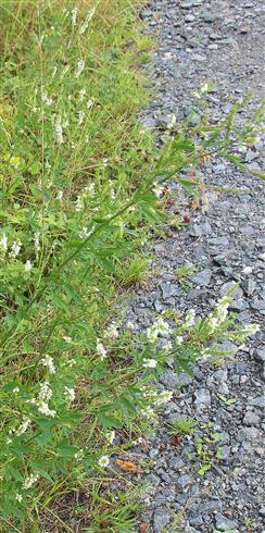 Weißer Steinklee(Melilotus albus(Medik.))