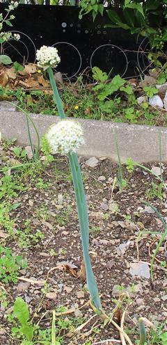 Winterzwiebel(Allium fistulosum(L.))