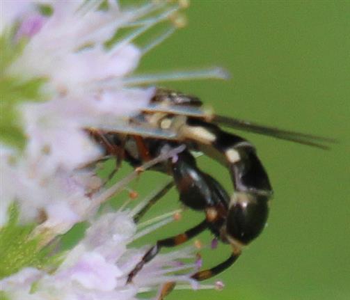 Zwei Gemeine Keulenschwebfliegen(Syritta pipiens)) bei der Kopulation