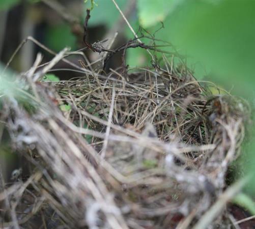 Vogelnest geflochten klein (vermutlich Hausrotschwanz(Phoenicurus ochruros(S. G. Gmelin)) als Nestgründer
