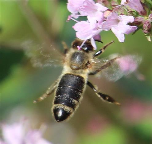 Westliche Honigbiene(Apis mellifera(L. 1758)) im Anflug einer Blüte von Oreganum(Oreganum vulgare(L.))