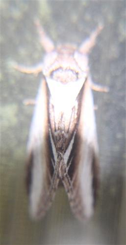 Birken-Porzellan- oder Birken-Zahnspinner(Pheosia gnoma(Fabricius 1776))