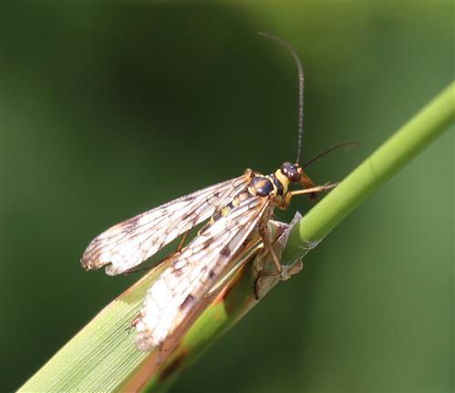 Deutsche SkorpionsFliege(Panorpa germanica(L. 1758))